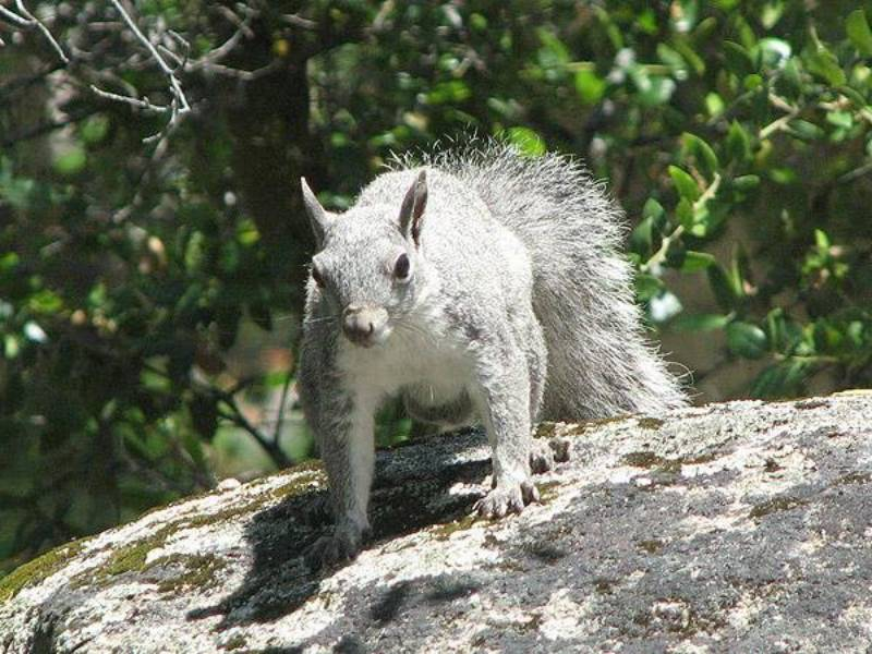 Always busy and entertaining, gray squirrels make Park Sierra trees their homes.